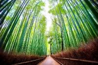 Бамбуковый лес Сагано, Япония