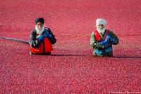 Сбор урожая клюквы в Ричмонде, Канада.