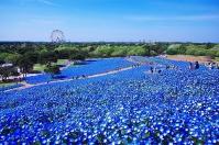 Небесный сад,Хитачи-Сисайд, Япония